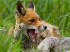 de vos heeft het naar zijn zin in Oostvaardersplassen